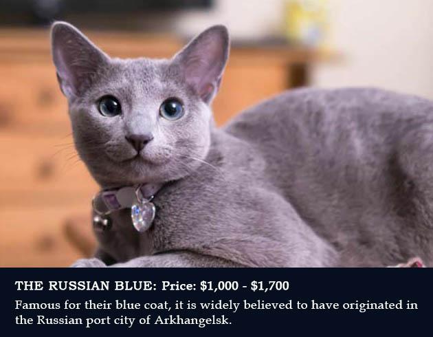 7. Russian Blue